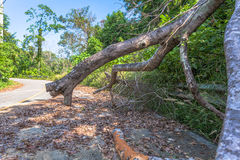 Big trees beside the road Royalty Free Stock Image