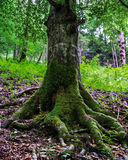 Big trees roots with moss Royalty Free Stock Image