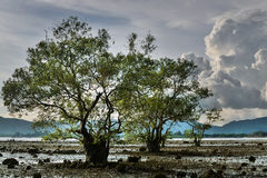 Big trees in a swampland Royalty Free Stock Images