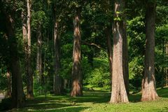 Big trees in tropical forest,Northern of Thailand stock photo