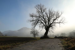 Big tree in fogg. Big tree by the road on foggy morning Stock Photos
