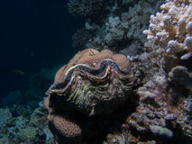 Big tridacna clam on a coral reef Royalty Free Stock Images