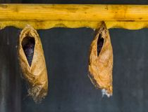 Big tropical butterfly cocoons hanging on a wooden beam, insect metamorphosis. Two big tropical butterfly cocoons hanging on a wooden beam, insect metamorphosis stock photo