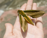 Big tropical butterfly on hand Stock Image