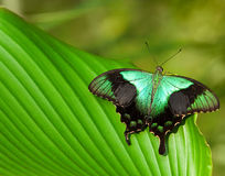Big tropical butterfly Royalty Free Stock Images