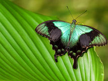 Big tropical butterfly Royalty Free Stock Image