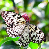 Big tropical butterfly Stock Image