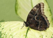Tropical butterfly sitting on a green leave. Big tropical butterfly sitting on a green leave royalty free stock photo