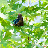 Big tropical butterfly sitting on green leaves Stock Image