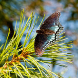 Big tropical butterfly sitting on pine tree Stock Photos