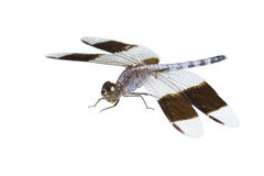 Big tropical dragonfly Stock Photo