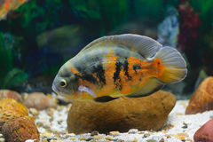 Big tropical fish in aquarium Royalty Free Stock Photography