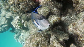 Big Tropical Fish Living in Red Sea stock video footage