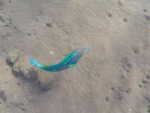 Big tropical fish on sea bottom. Parrotfish on sea sand background.