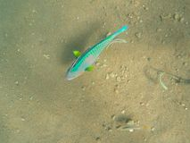Big tropical fish by seabottom. Parrotfish on sea sand background.