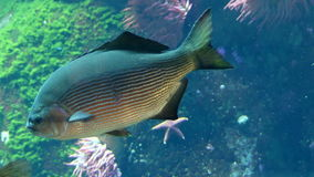 Big tropical fish water tank. Aquarium closeup big fish blue water stock video footage