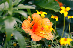 Big tropical flower Royalty Free Stock Photo