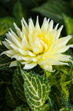 Big tropical flower Royalty Free Stock Images