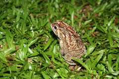 Big tropical frog (at night) Royalty Free Stock Images