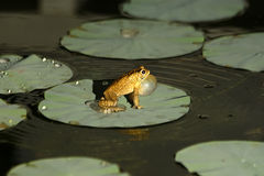 Big tropical frog (at night) Royalty Free Stock Photos
