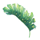 Big tropical green leaf of Monstera plant. Hand drawn watercolor painting Stock Images