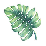 Big tropical green leaf of Monstera plant. Hand drawn watercolor painting Royalty Free Stock Photo