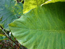 Big tropical green leaf natural background. Greenery leaves of A Royalty Free Stock Photography