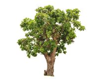 Big tropical green tree isolated on white. Background Royalty Free Stock Photos