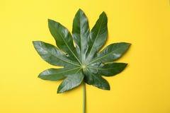 Big tropical leaf on background. Big tropical leaf on color background Stock Images
