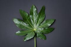 Big tropical leaf. On dark background Stock Images