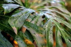 Big tropical leaf in rainforest with raindrops in jungle f. Big tropical leaf in rainforest with raindrops in jungle royalty free stock photo