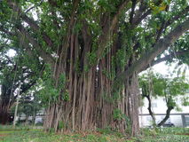 Big tropical tree with many side lianas around trunk Royalty Free Stock Photos