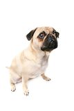 In Big Trouble. Cute Pug Puppy with guilty look on his face.  Isolated on white background Stock Images