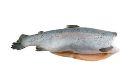 Big trout isolated Stock Photos
