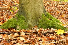 Big trunk with moss Stock Image