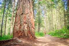Big trunk of an old pine tree Royalty Free Stock Image