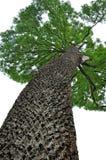 Big trunk tree Stock Image