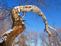 Big trunk of white poplar Royalty Free Stock Photo