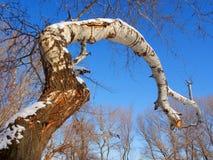 Big trunk of white poplar Royalty Free Stock Photo