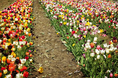Big tulip field for picking yourself Royalty Free Stock Photography