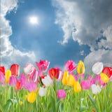 Big tulip meadow Royalty Free Stock Image