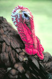 Big turkey. Taken in massey ontario Stock Image