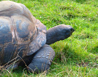 Big turtle Royalty Free Stock Images