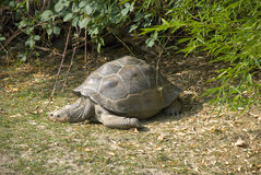 Big turtle. Lying on the ground stock images