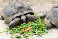 Big turtle. Two big turtle eating fresh vegetables stock photo