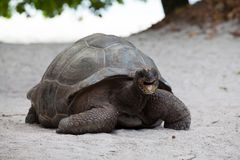 A big turtle on the beach on the Seychelles. With a open mouth Royalty Free Stock Photos