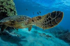 Big turtle in coral reef underwater shot. Sea turtle in natural habitat. Ocean wildlife animal underwater. Coral reef with fish Royalty Free Stock Photography