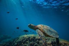 Big turtle in coral reef underwater shot Stock Photos