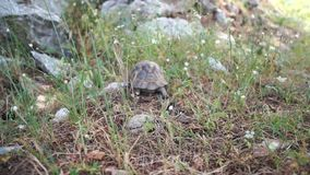 Big turtle crawling in the grass in slow motion stock video footage