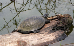Big turtle crossing river on the tree Royalty Free Stock Images